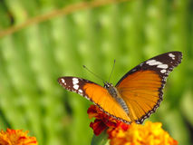 Free Butterfly Royalty Free Stock Images - 29021289