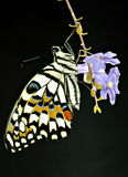Butterfly. A beautigul butterfly Stock Photography