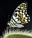 Butterfly. A butterfly on back lit thorns Stock Photos