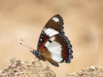 Brown and white butterfly Stock Photography