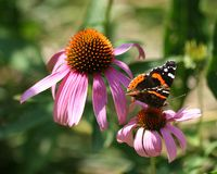 Butterfly. Black and orange butterfly feeding on Purple Coneflower royalty free stock photo