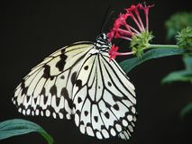 Butterfly. A butterfly looking for nectar stock images
