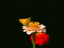 Butterfly. On pink zinnia Royalty Free Stock Images
