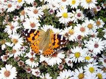Butterfly. In daisywheel Royalty Free Stock Photo