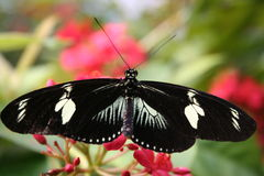 Butterfly. Black and white butterfly on a colorfull flower Stock Image