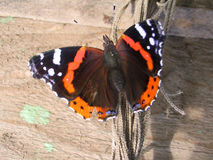 The butterfly Royalty Free Stock Images