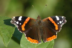 Butterfly. Black and orange butterfly on green leef Stock Image