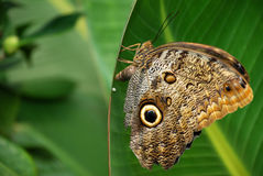Butterfly. A butterfly sitting on a green leaf Royalty Free Stock Photo