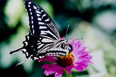 Free Butterfly Royalty Free Stock Image - 3611966