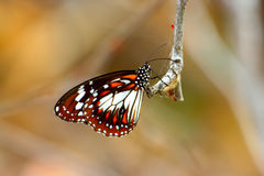 Butterfly. Close-up of a colorful australian Butterfly stock photography