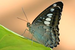 Butterfly. Brown-black butterfly on a green leaf Royalty Free Stock Photos