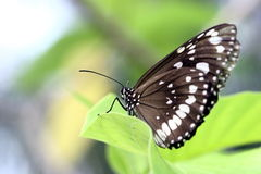 Butterfly. White colors spreading over dark wings of the beautiful tropical butterfly stock image