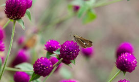 Butterfly. On a purple amaranth to suck nectar and pollen Royalty Free Stock Photos