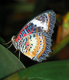 Butterfly. A beautiful colored tropical butterfly stock image