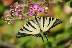 Butterfly. Sitting on a plant in the sun Royalty Free Stock Image