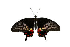 Butterfly. Black butterfly isolated on white background Royalty Free Stock Photo