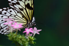 Butterfly. The butterfly is eating something on the flowers royalty free stock photo