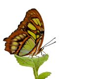 Butterfly 40. A butterfly resting on a leaf isolated over white royalty free stock photo