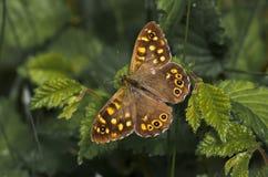 Butterfly6 zdjęcie royalty free