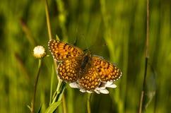 Butterfly12 Immagine Stock Libera da Diritti
