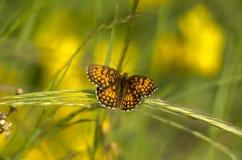 Butterfly3 obrazy royalty free
