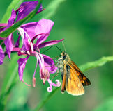 Butterfly. Unknown Butterfly and Flower. Summer, outdoor Royalty Free Stock Photography