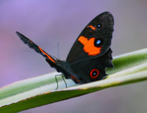 Butterfly. Beautiful orange and black Butterfly resting on a leaf Royalty Free Stock Photos