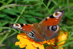 Free Butterfly Stock Image - 4271951