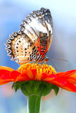 Butterfly. Sitting on red flower Royalty Free Stock Image
