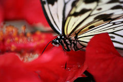 Butterfly. A butterfly on a hibiscus flower Stock Photos