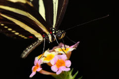 Butterfly. A beautiful butterfly stays on flowers Stock Images