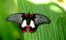 Butterfly. Wonderful butterfly (Papilio memmon) in the spring royalty free stock images