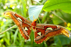 Butterfly. Wonderful butterfly (attacus atlas) in the spring Royalty Free Stock Photos