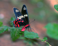 Butterfly. Enjoying a sip of sweet honey Royalty Free Stock Photos