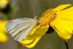 Butterfly. A white butterfly sipping nectar of a yellow flower Stock Photography