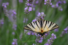 Butterfly. On the lavender flower Stock Images