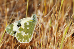 Butterfly. A butterfly (Pontia daplidice) on the grass stock photos