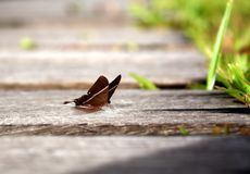Butterfly in wooden pathway Stock Photography