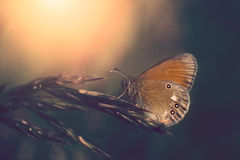 Free Butterfly Royalty Free Stock Photography - 56697947