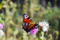 Free Butterfly Royalty Free Stock Image - 56699326