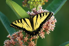 Butterfly. An eastern swallowtail butterfly on a milkweed plant stock photo