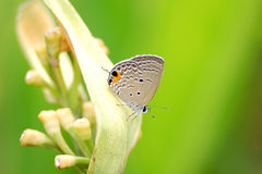 Free Butterfly Royalty Free Stock Image - 5933036
