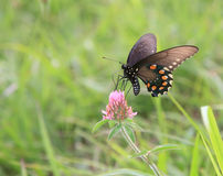Butterfly. Black butterfly green grass pink flower nature Royalty Free Stock Image