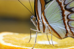 Butterfly 6. Butterfly sitting on an orange 3 Stock Photography