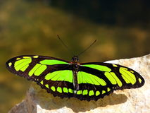 Butterfly. Colorful butterfly with green wings Royalty Free Stock Images