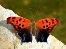 Butterfly. Colorful butterfly with red and black wings Royalty Free Stock Photo