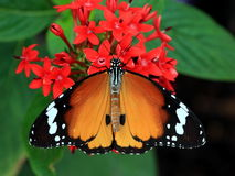 Butterfly. Colorful butterfly with colorful wings and red flowers Stock Images