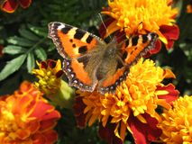 Butterfly. Orange butterfly sits on a flower royalty free stock image