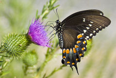 Butterfly. Captured on a thistle stock photos