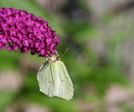 Butterfly. Light green butterfly, gonepteryx rhamni Stock Images